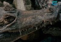 ZooPark. Крокодил