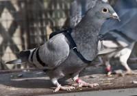 Почтовые голуби пролетят через Смоленск