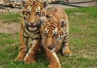 В Смоленск привезли тигрят (фото)