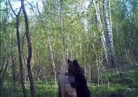 Медведя из «Смоленского Поозерья» сняла скрытая камера
