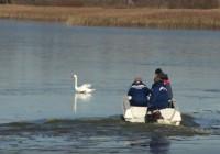 Из Рая – в Лопатинский сад: в Смоленском районе спасли лебедя