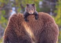 В Смоленске отметят День медведя
