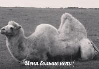 Верблюда, сбитого автомобилем под Смоленском, спасти не удалось