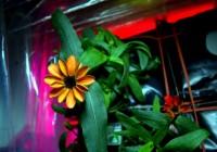 На борту МКС распустился первый космический цветок