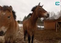 Природоведение. Лошади Пржевальского из «Смоленского Поозерья»