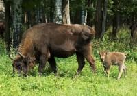 В Смоленском Поозерье родился первый зубренок