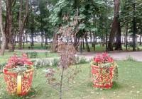 Клен БГ в Смоленске засыхает