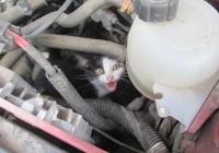 Смолянин нашел под капотом авто котенка