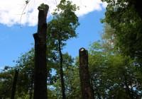 В смоленских парках вырубают старые деревья