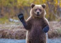 Из Смоленского района поступило сообщение о встрече с медведем-шатуном