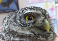 В Смоленском Поозерье спасли самую маленькую сову России