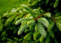 Растущие в Смоленске елки начнут украшать на Новый год