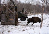 Три новых самки зубра осваиваются в Смоленском Поозерье