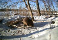 Бобры вышли на «лесозаготовки» в Смоленском Поозерье