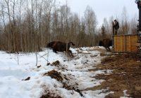 В Смоленское Поозерье привезут 10 новых зубров