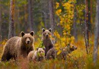 В Смоленской области живет тысяча медведей и 19 тысяч лосей