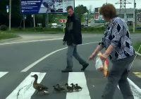 Доброта по-смоленски: горожане помогли утке с потомством перейти дорогу