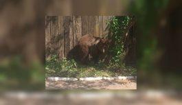 В Смоленской области медведь вышел прямо на улицы города