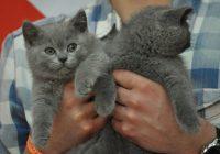 «Лето, солнце, кошки». В Смоленске пройдет международная выставка усатых-полосатых