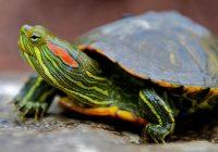 Смоляне массово избавляются от красноухих черепах