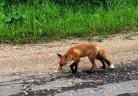 В Смоленской области дикий лисёнок вышел к людям