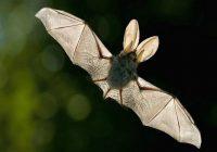 За летучими мышами «Смоленского Поозерья» будут пристально следить