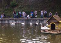 Смоленских лебедей хотят защитить от любителей угостить хлебушком