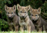 Смолянам расскажут «Волчьи байки»