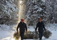 За незаконно вырубленное праздничное дерево будут наказывать рублём