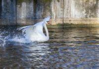 Администрация Лопатинского сада спешит избавить лебедей от губительного беспокойства горожан