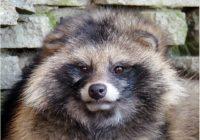 Енотовидная собака Еня потерялась в Смоленске