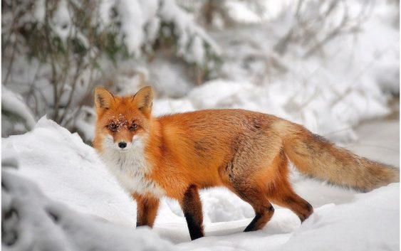 ВСмоленском Поозерье вдвое подросла численность волков ирысей