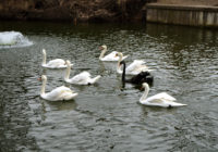 Лебеди вернулись в Лопатинский сад