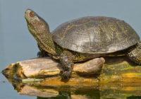 На улицах Вязьмы обнаружили двух черепах