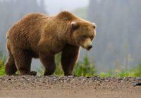 На окружной дороге в Смоленске заметили медведя