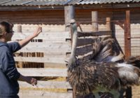 Семья из Монастырщинского района завела страуса