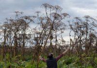 Ситуация с борщевиком в Смоленской области напоминает эпидемию