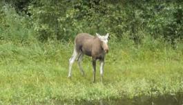 В Смоленской области лосёнок попал в объектив видеокамеры