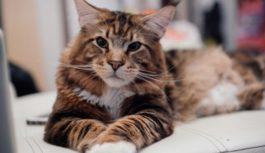 В Смоленске пройдет международная выставка кошек