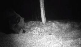 В «Смоленском Поозерье» медведь попал в фотоловушку
