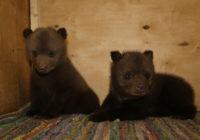 В Смоленской области спасли двух маленьких медвежат, оставшихся без матери