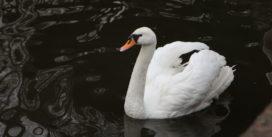 В Лопатинском саду выпустили лебедей