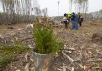 В Гагаринском районе восстанавливают леса