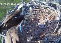 В Смоленском Поозерье в гнезде скопы появились птенцы