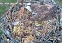В Смоленском Поозерье скопа защитила своё гнездо от хищника