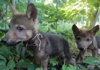 Смолян просят помочь выбрать имена для ручных волчат