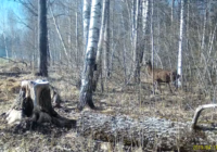 Редкое для наших мест животное засветилось на видео