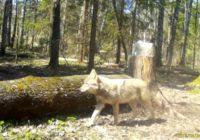 В Смоленском Поозерье осторожный волк попался в ловушку