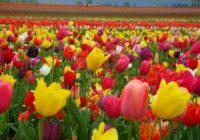 Следующей весной в Смоленске расцветут голландские тюльпаны